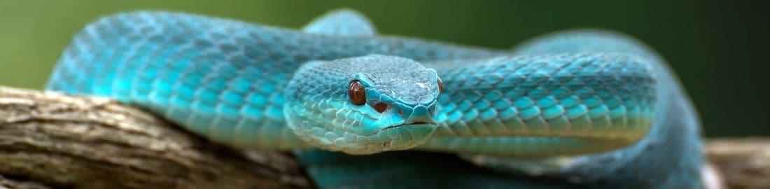 lesser sunder pit viper