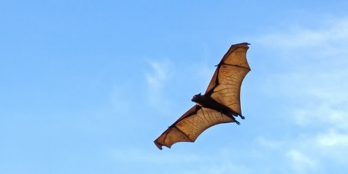 Flying Fox against the blue sky