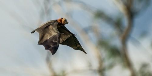 Flying fox of Kalong