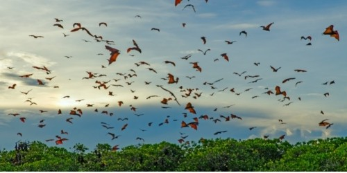 Flying foxes in the air at sunrise