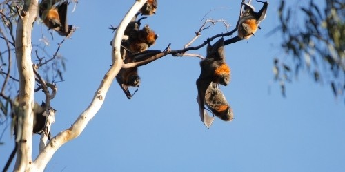 Flying foxes of Kalong