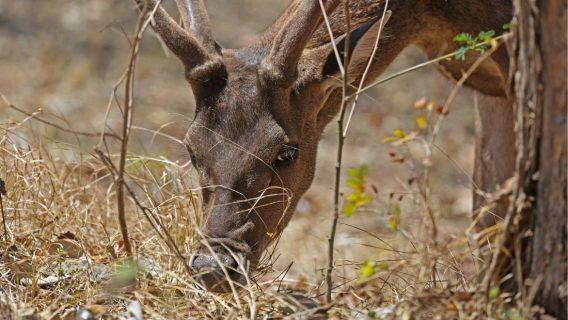 A Timor Rusa Deer