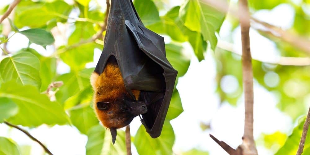 Flying Foxes in Pulau Kalong